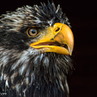 Постер, плакат: Eagle Portrait Nikon 1 V3 & AF S VR 70 300mm