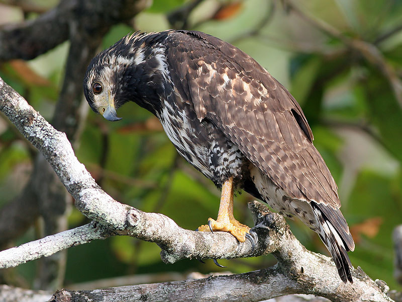 Photograph Curious young Black Hawk  by Aat Bender on 500px