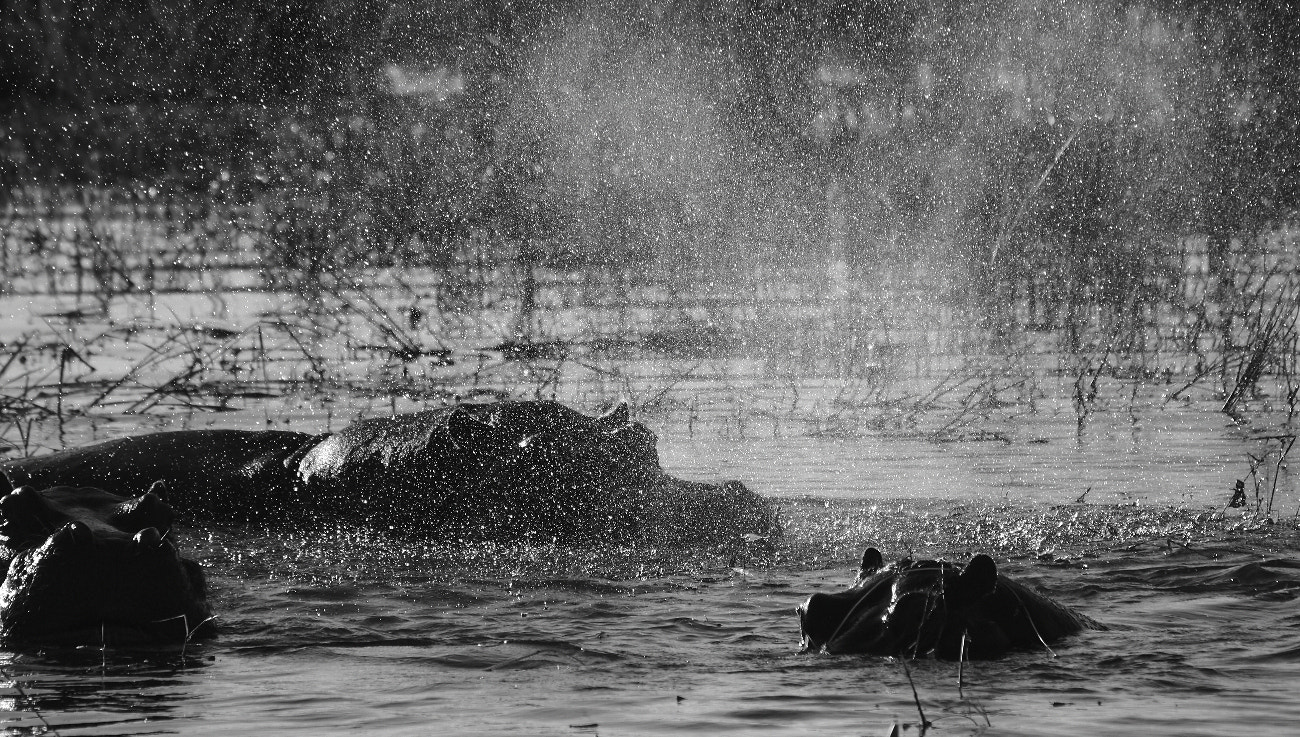 Photograph Hippos in the mist by Henk Botha on 500px
