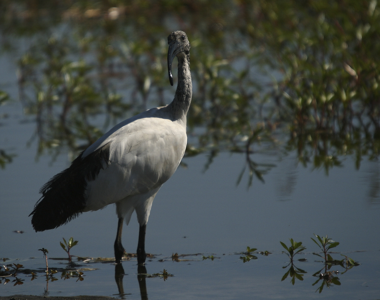 Photograph Ibis by Henk Botha on 500px