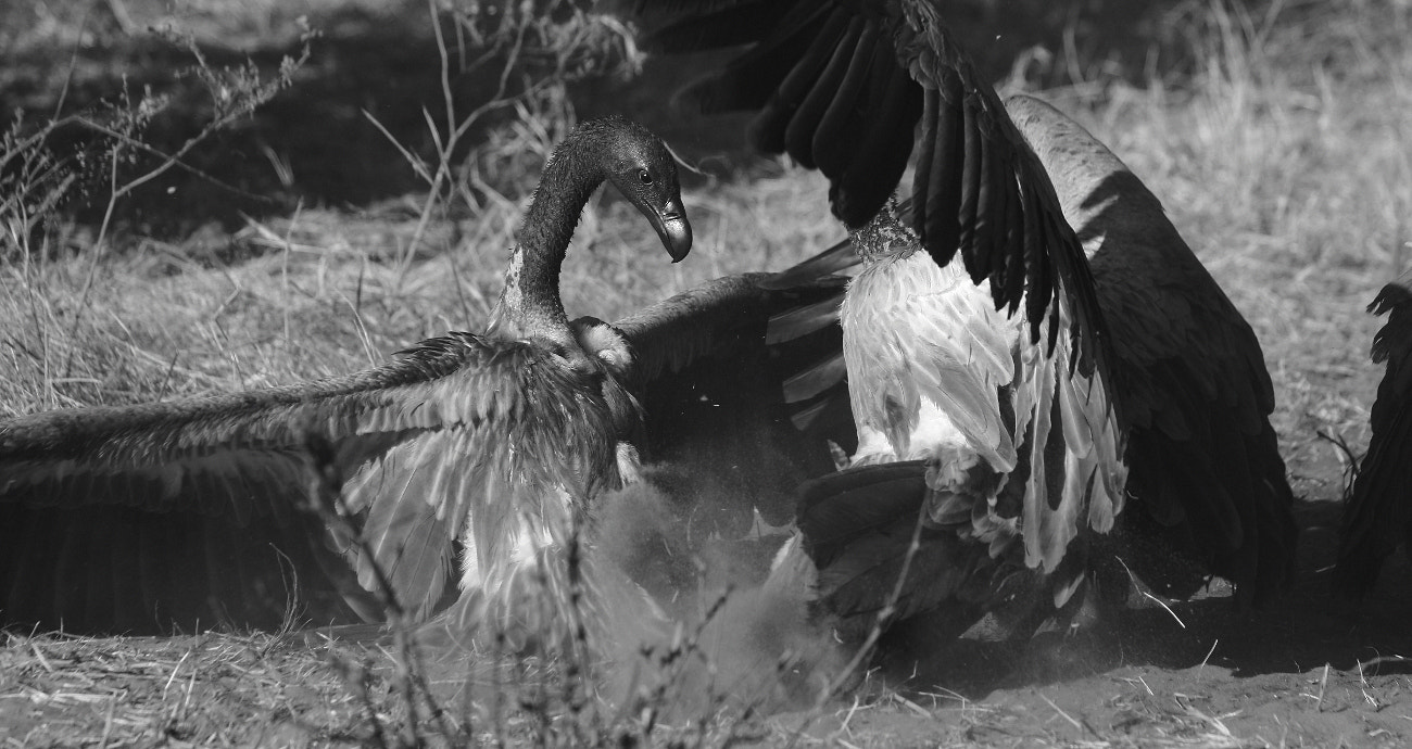 Photograph Vulture battle for food by Henk Botha on 500px