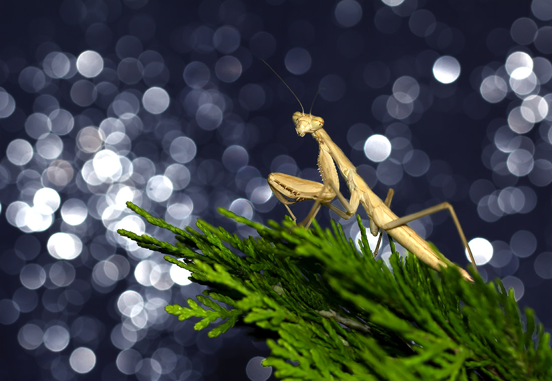 Photograph Mantis 6 by iman mehr on 500px