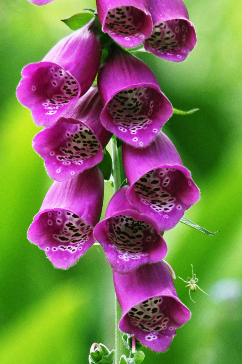 Photograph Spider climbing up Foxglove flowers by Arnie Monteith on 500px