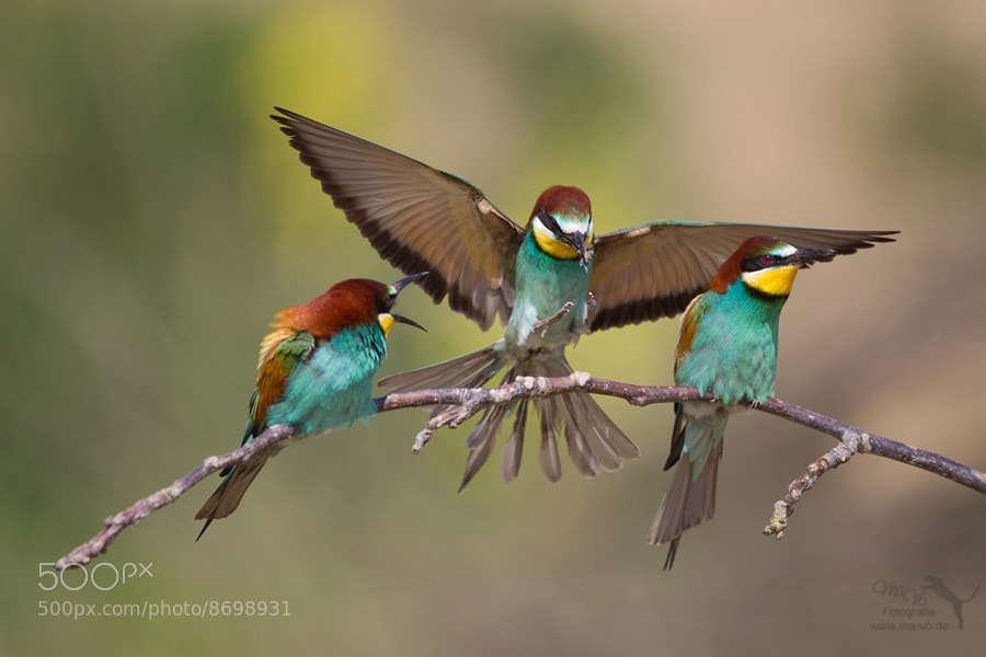 Photograph Bee-eater by Marion Vollborn on 500px