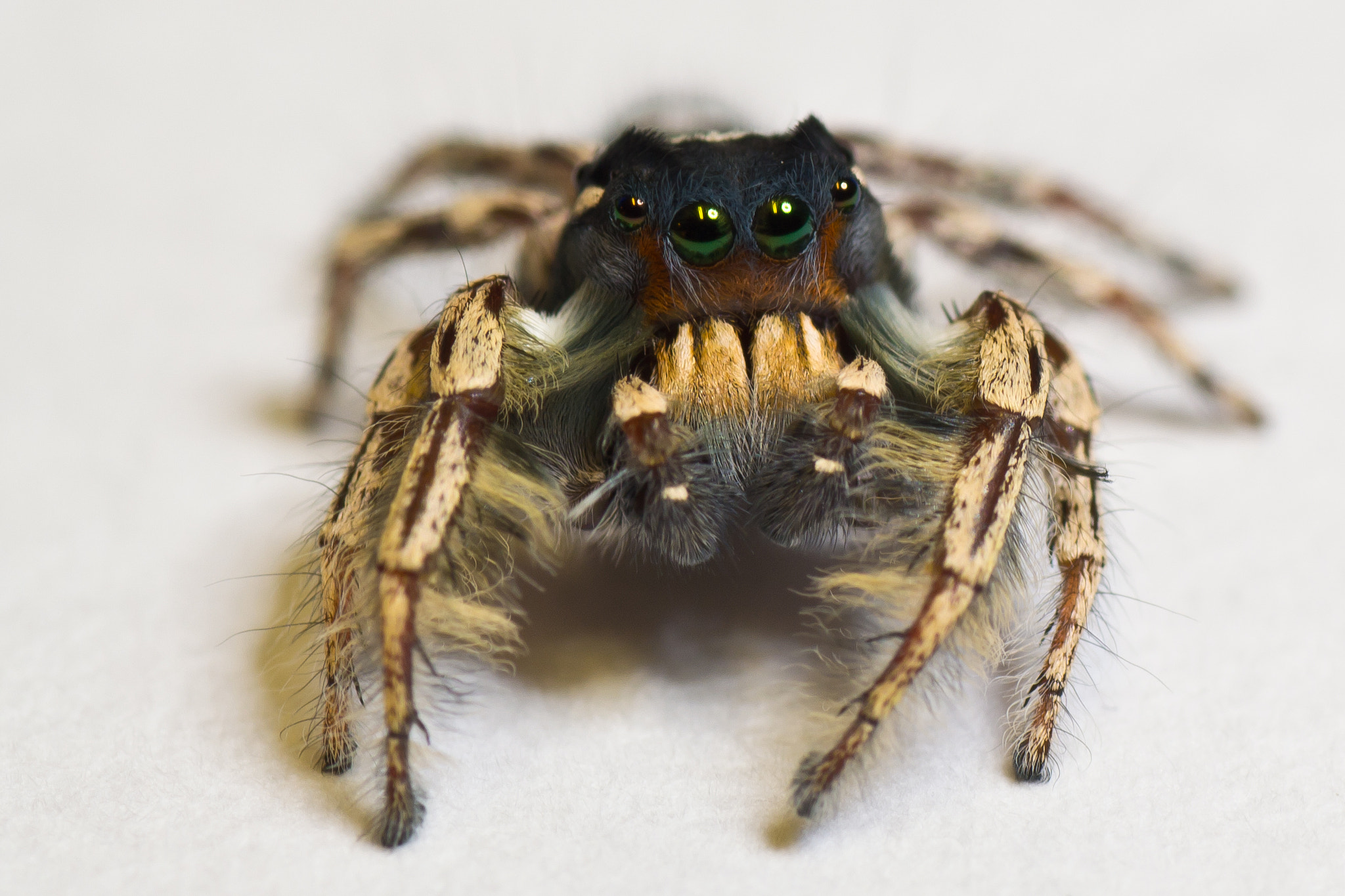 Photograph Jumping Spider by Joey Bamburg on 500px