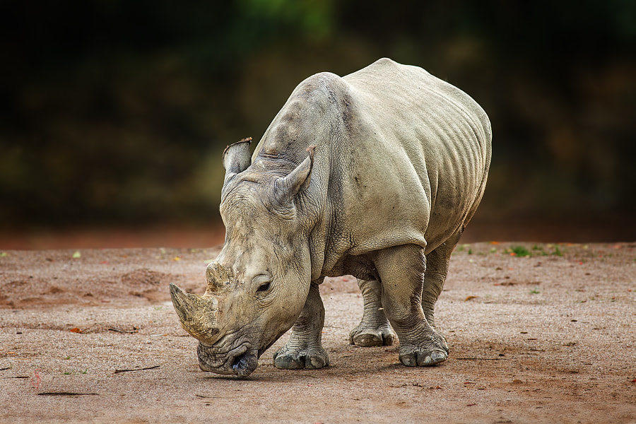 White rhinoceros (Ceratotherium simum) by Jean-Claude Sch. on 500px.com