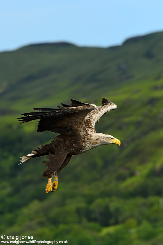 Photograph White-tailed Eagle by Craig Jones on 500px