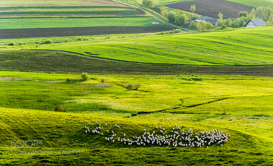 Photograph White sheeps land by MARIAN Gabriel Constantin on 500px