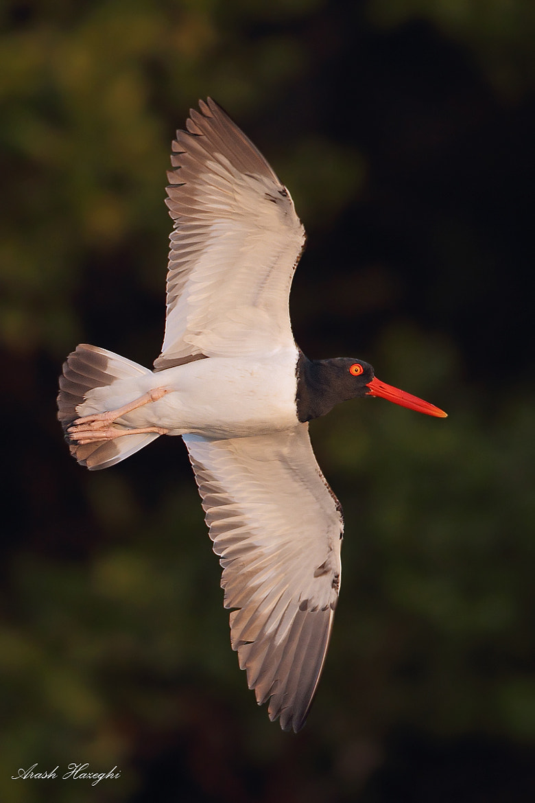 Photograph American Oystercatcher by Ari Hazeghi on 500px