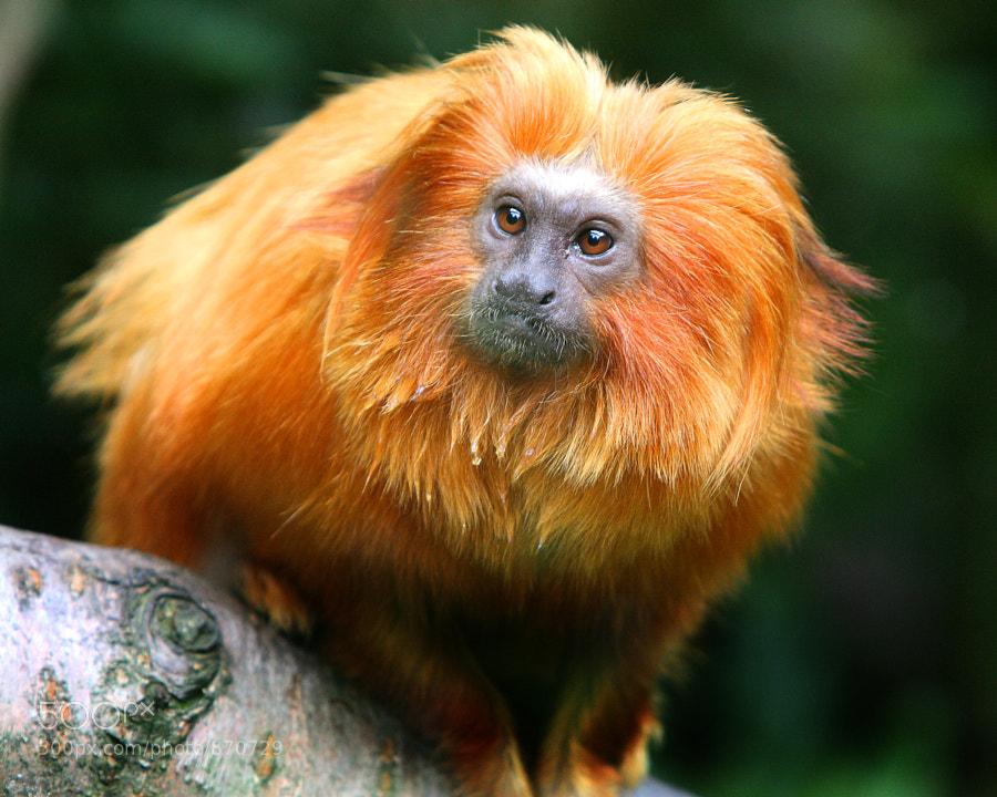 Golden Lion Tamarin Monkey, taken at Belfast Zoo, Northern Ireland