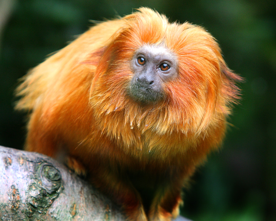 Golden Lion Tamarin Monkey, taken at Belfast Zoo, Northern Ireland