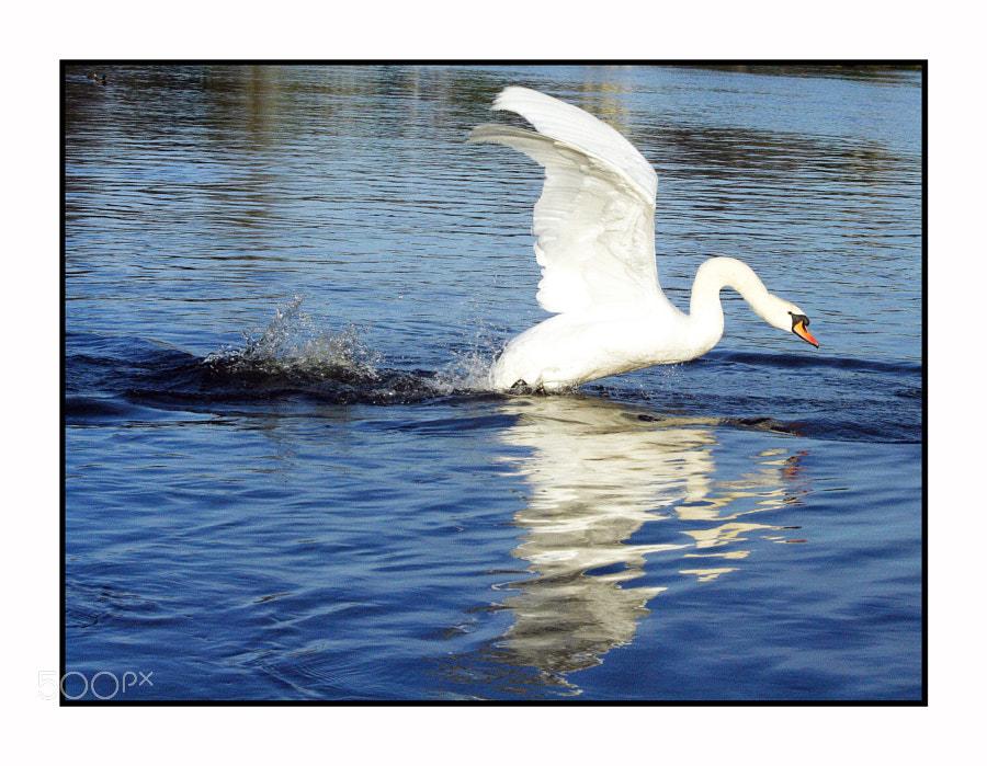 Mute Swan, River Bann, Coleraine, N. Ireland.