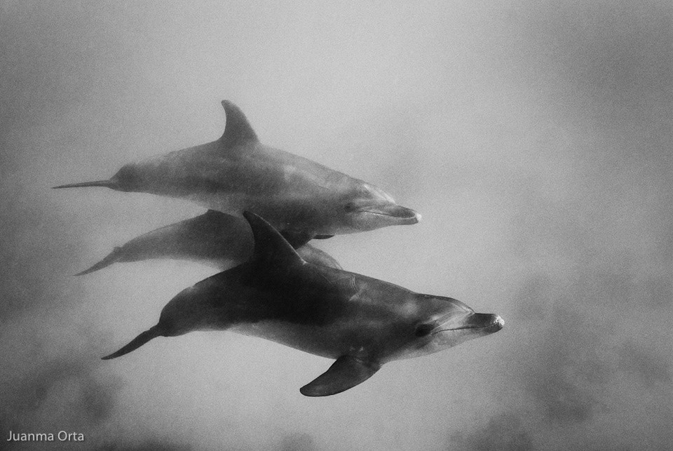 Photograph Dolphins by Juanma Orta on 500px