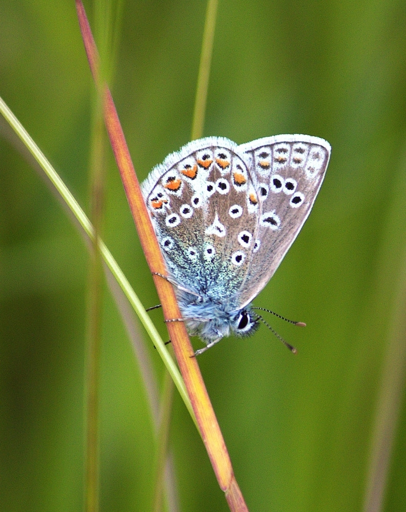 Photograph Common Blue by Chrissie Barrow on 500px