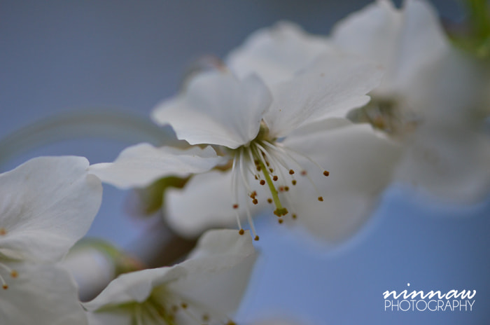 Photograph Cherry blossom by Ninna Wallenborg on 500px