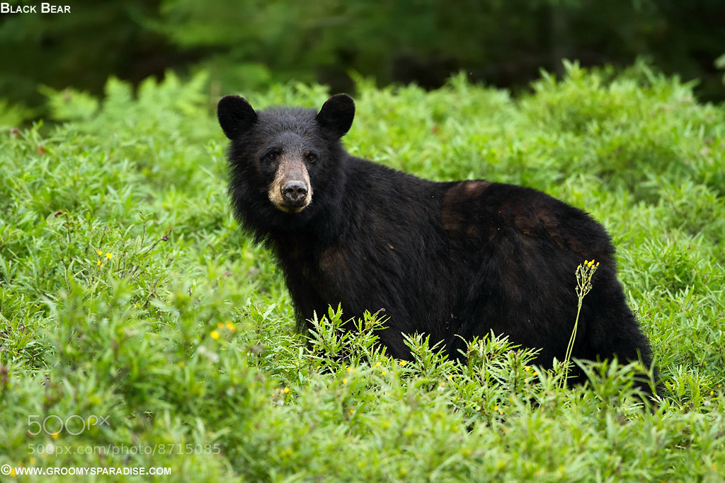 Photograph Black Bear - Cub!! by Anupam Dash on 500px