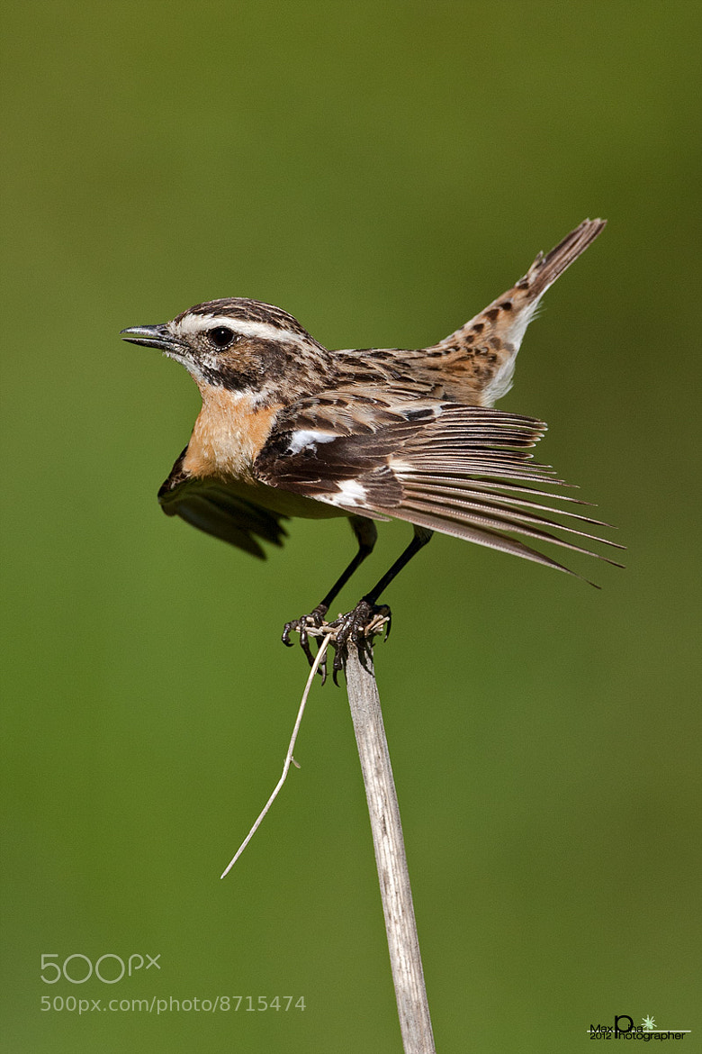 Photograph Whinchat in love by Massimo Dadone on 500px