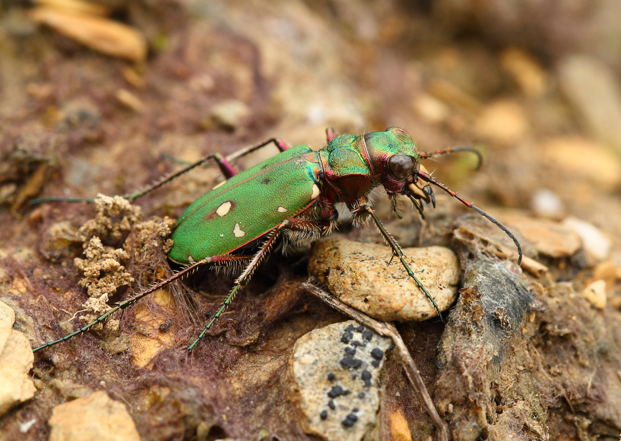 Photograph Green Tiger beetle (Cicindela campestris) ovipositing by Vic.  Parsons. on 500px