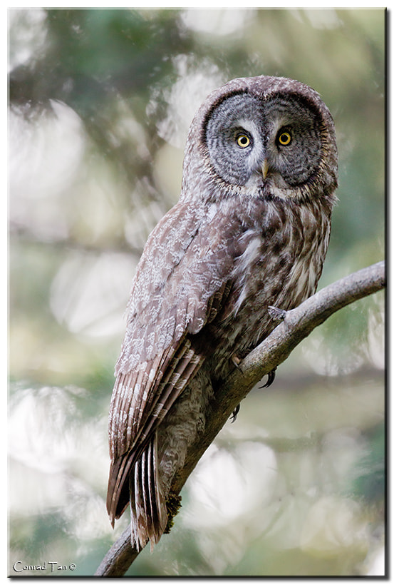 Photograph Great Gray Owl by Conrad Tan on 500px