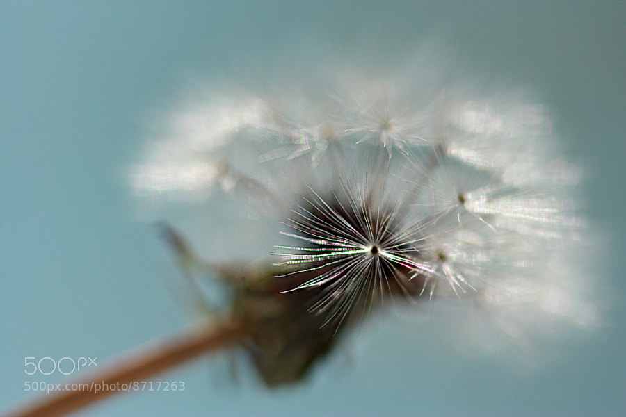 Photograph Delicate Dandelion by Jean Loper Photography on 500px
