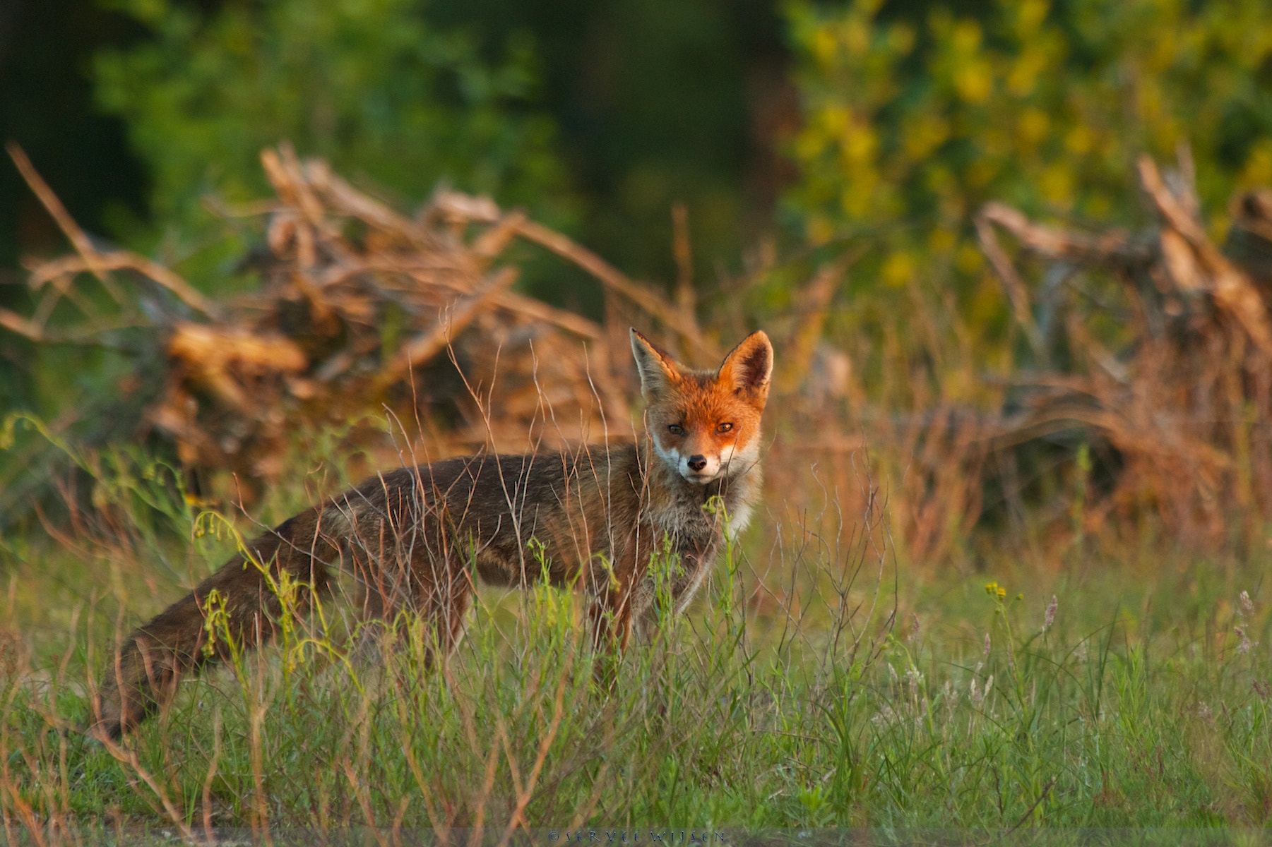 Photograph Fox @ sunset... by Servee Wijsen on 500px