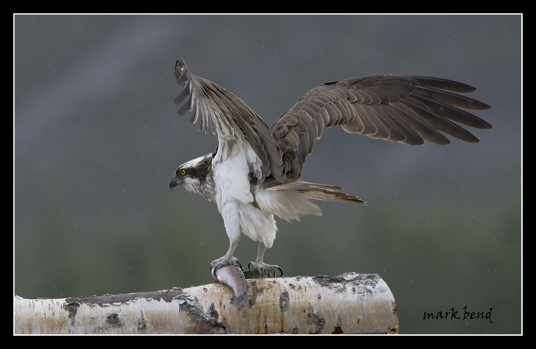 Photograph osprey with trout by Mark Bend on 500px