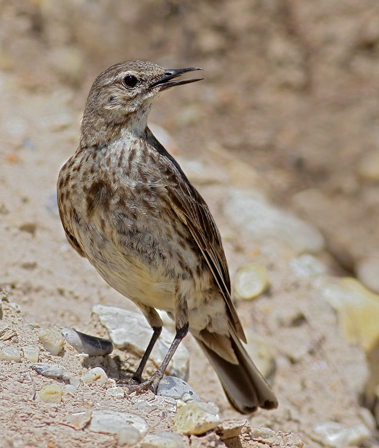 Photograph Rock Pipit by joe54 on 500px