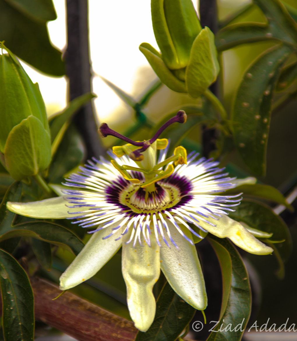 Photograph Passion Flower by Ziad M. A. on 500px