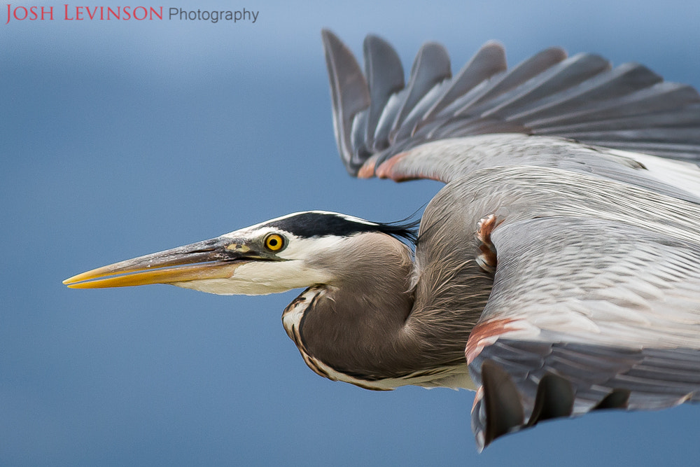 Photograph Great blue heron by Josh Levinson on 500px
