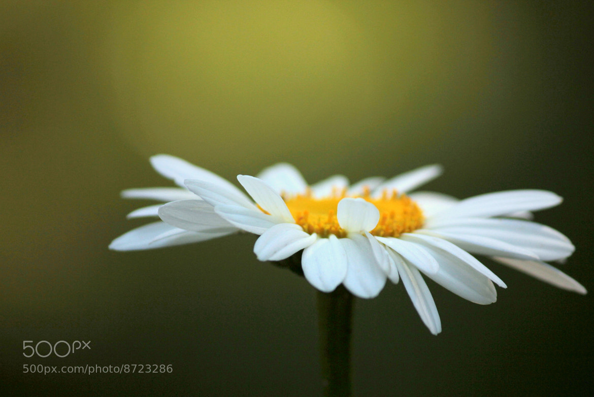 Photograph Single Daisy by Wes Owen on 500px