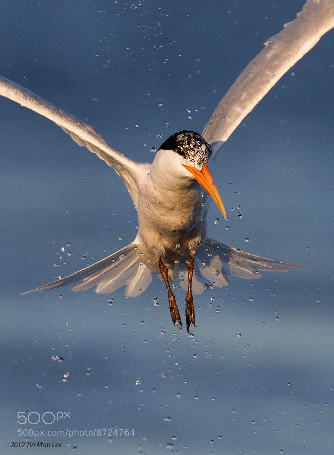 Photograph Tern Rising from Water by Tin Man on 500px