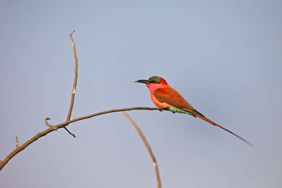 Photograph Carmine Bee-Eater by vicky  fry on 500px