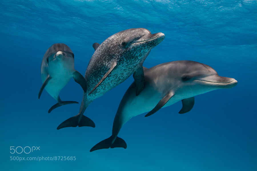 Photograph Dolphin Portrait by Scott Portelli on 500px