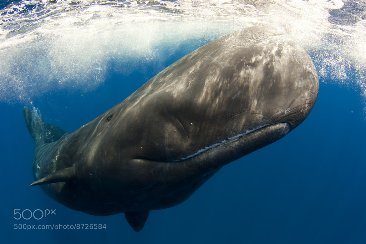 Photograph Sperm Whale Smile by Scott Portelli on 500px