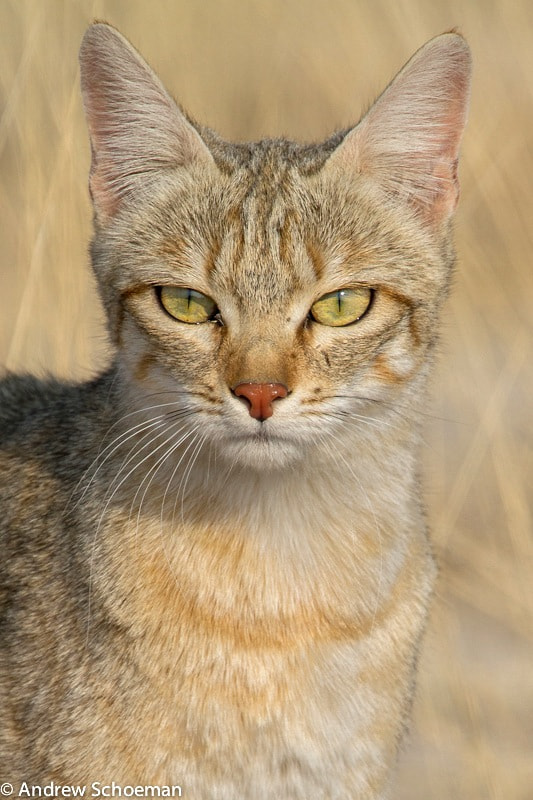Photograph Portrait of a Cat by Andrew Schoeman on 500px