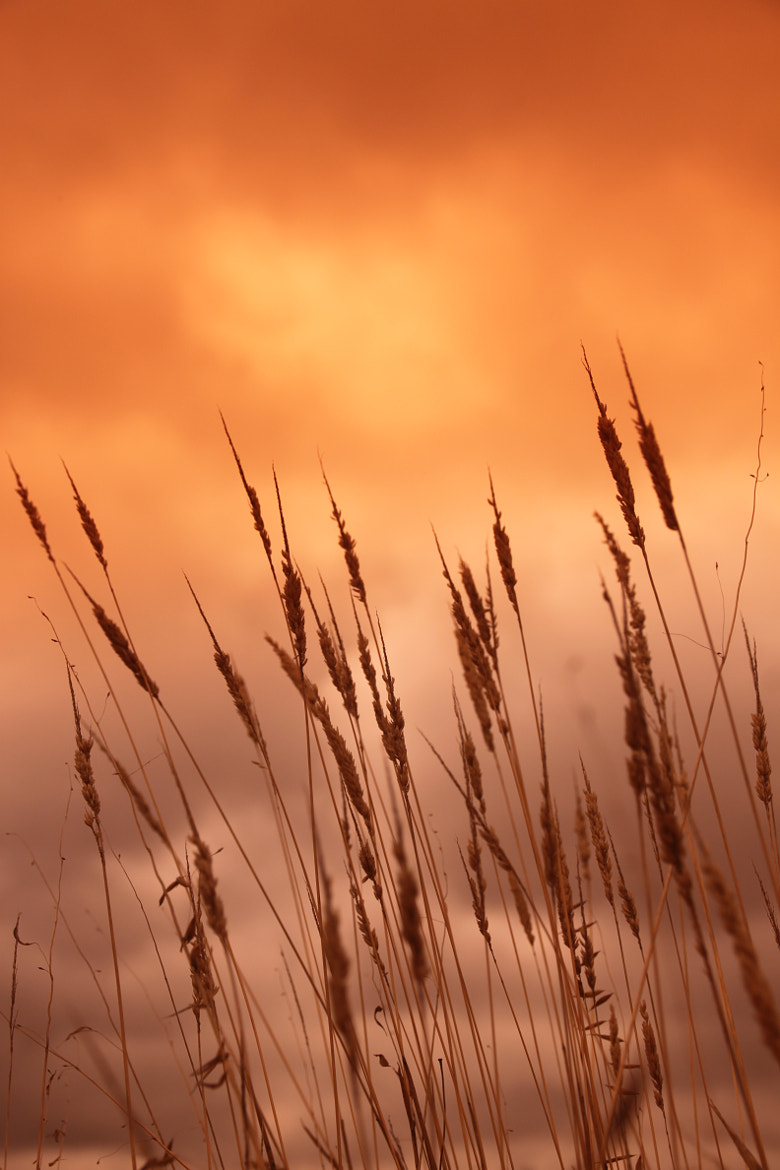 """Photograph …""""Fields of Gold""""… by Maria  Ferreira on 500px"""