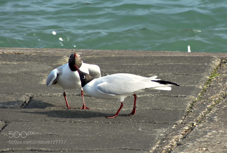 Photograph Black Headed Gulls by Jackie Govan on 500px