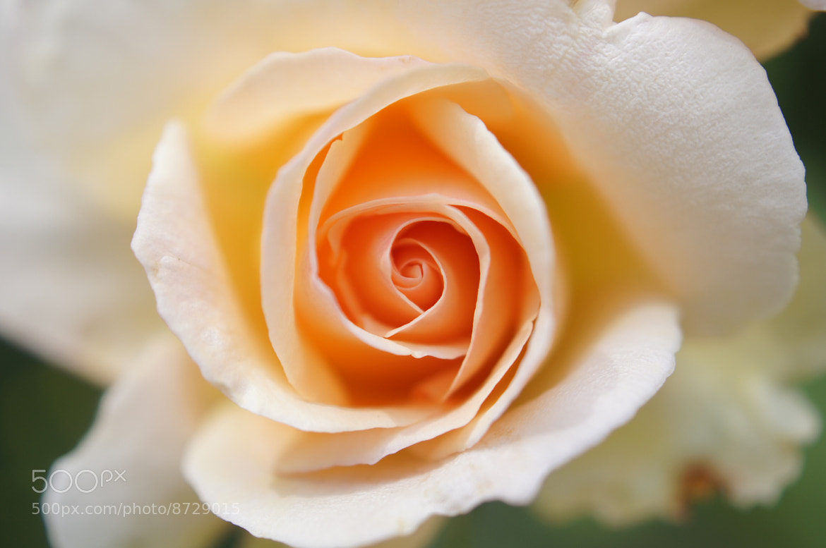Photograph  Youthful Rose. by Afzal Khan on 500px