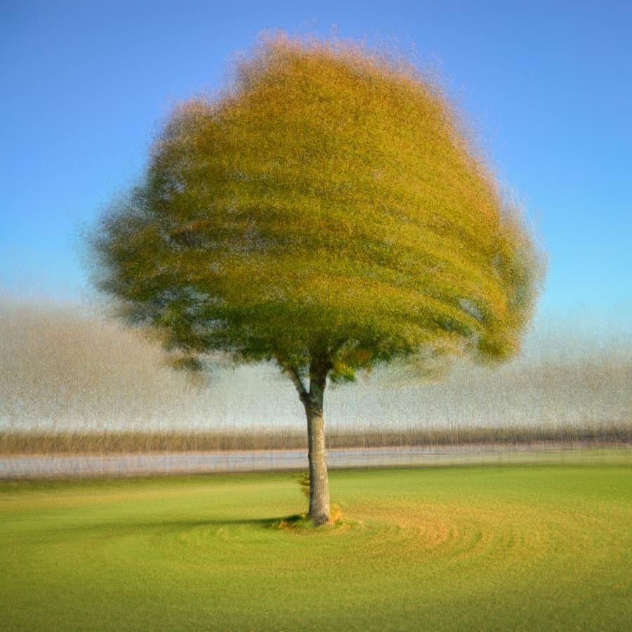 Round a maple tree