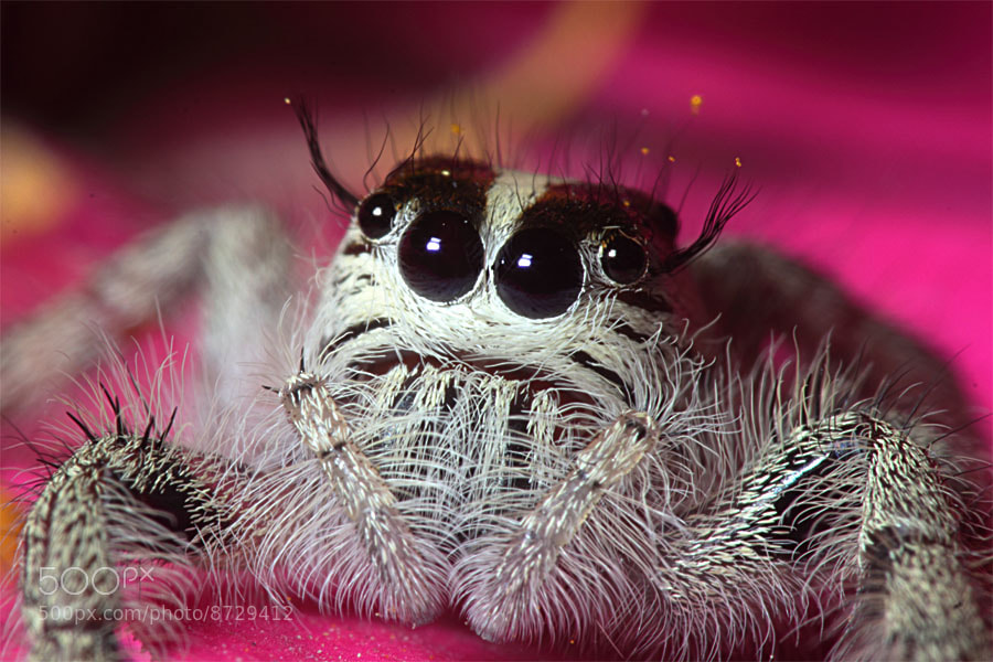 Photograph Jump Spider at Pink by Fathur Rohman on 500px