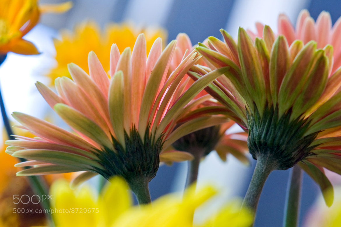Photograph Daisy, Daisy 2 by Mark Luftig on 500px
