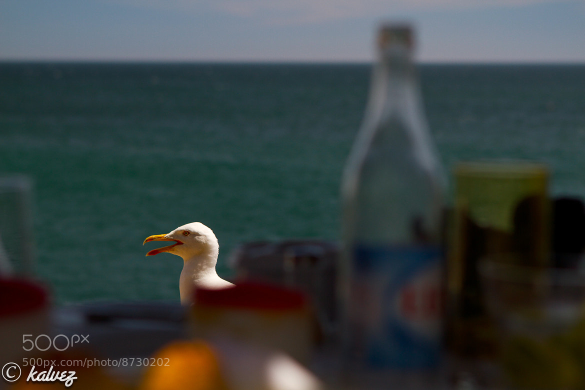Photograph Seagull at the table by Carlos Alves on 500px