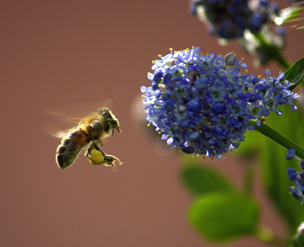 Photograph Flying Laden Bee by Chrissie Barrow on 500px