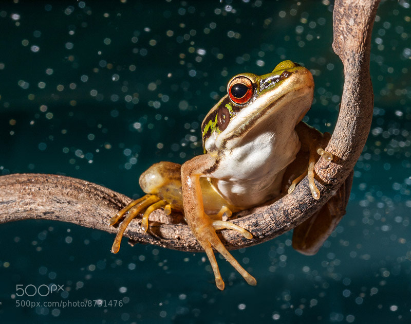 Photograph Frogs by Khatawut J on 500px