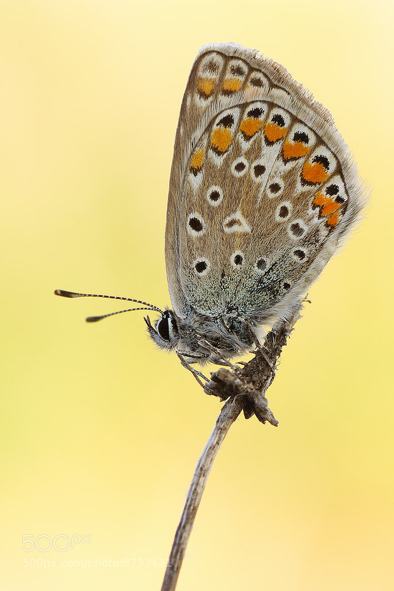 Photograph Polyommatus sp. by Tamara Kavalou on 500px