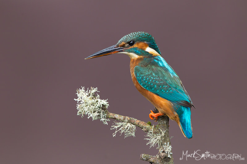 Photograph Female Common Eurasian Kingfisher by Mark Smith on 500px