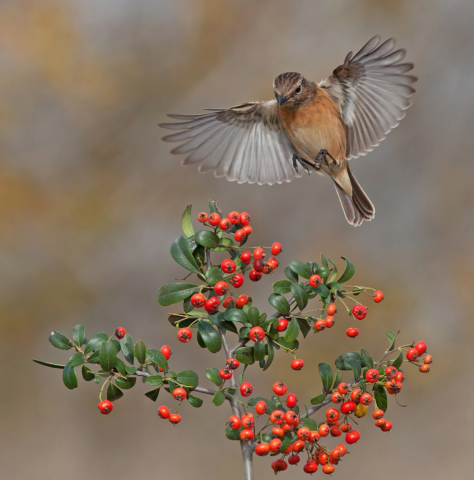Photograph Common Stonechat by Roy Avraham on 500px