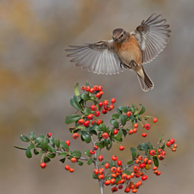 Common Stonechat by Roy Avraham (Roy-Avraham)) on 500px.com