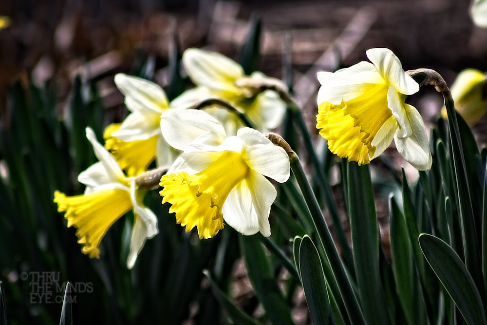 Photograph Dancing Daffodils by Dina Eiken on 500px
