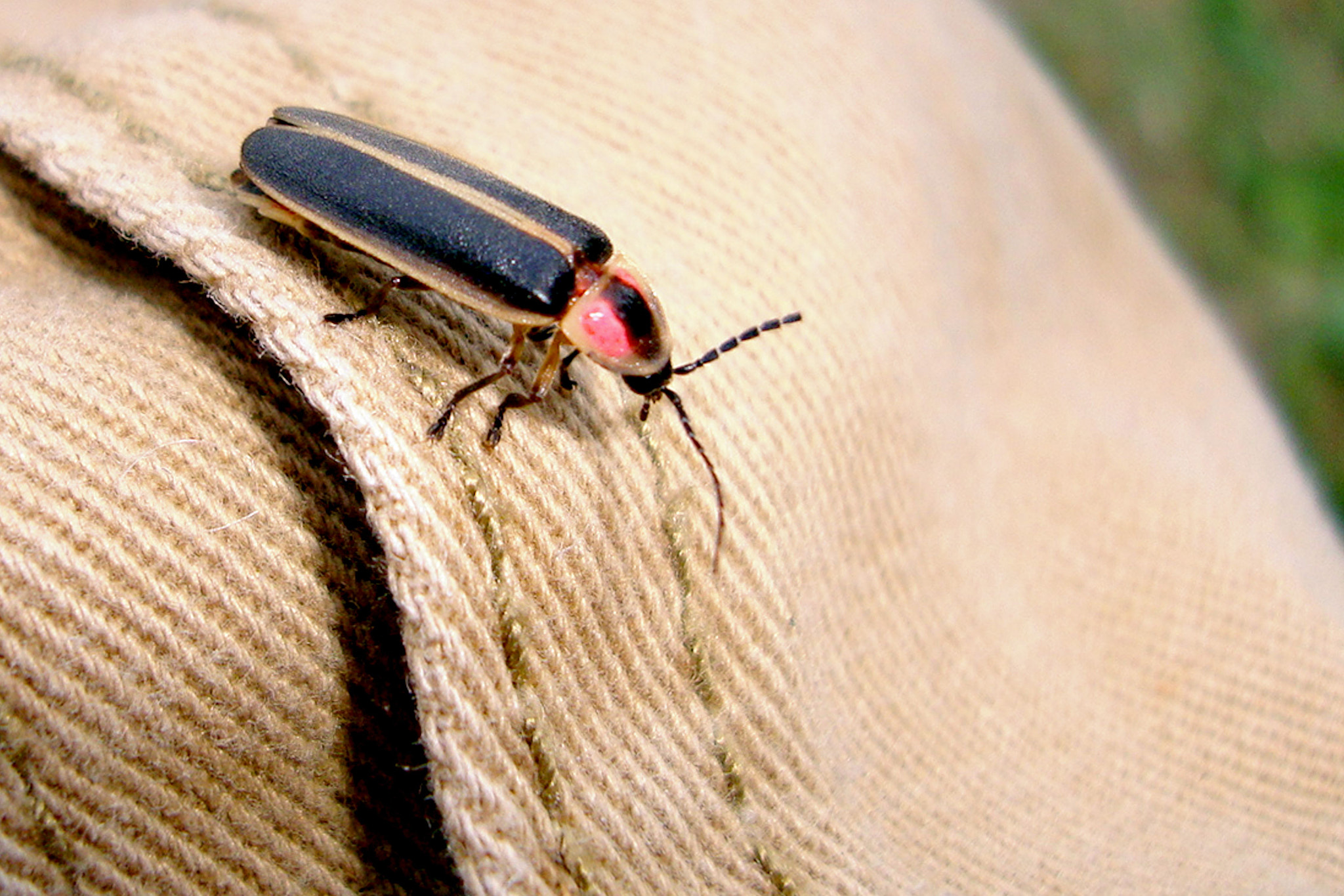 Photograph Lightning Bug At Rest by Dannie Bright on 500px